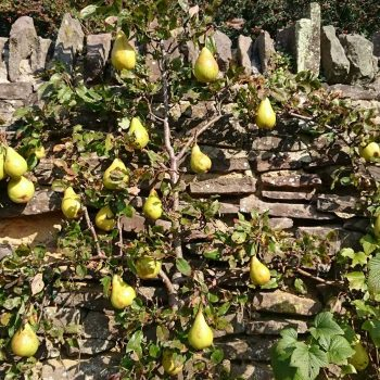 pears on a wall