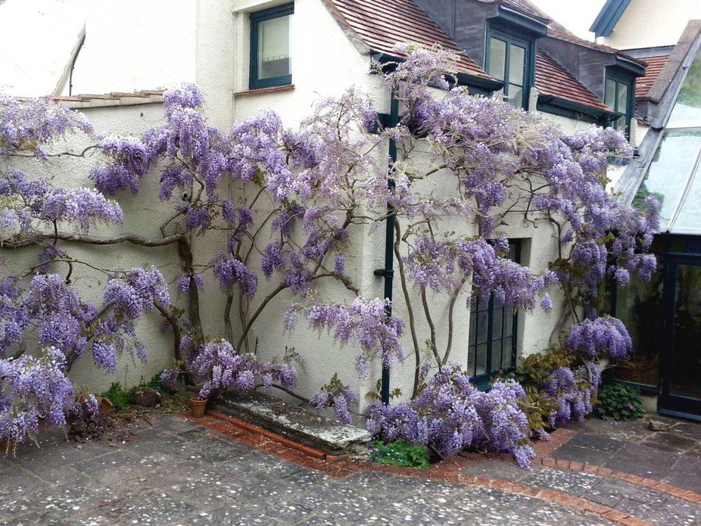 purple flowers on house