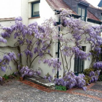 purple flowers on house