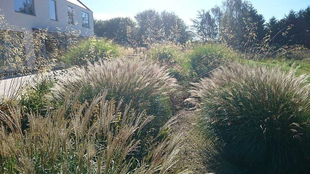 ornammental grasses