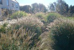 ornammental grasses